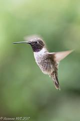 Black chin with a flash of purple (SF knitter) Tags: arizona blackchinnedhummingbird cornville sedona southwest verdevalley bird desert garden hummingbird