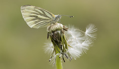 Green-veined White (Pieris napi). (Bob Eade) Tags: greenveinedwhite pierisnapi white green dandelion insect butterfly lepidoptera southdownsnationalpark seaford eastsussex sussex nature nikon wildlife downland