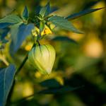 Growing Tomatillo Plants for Landscaping and Health Benefits thumbnail