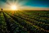 Zen (•tlc•) Tags: zen field sun sky sunset tree rows landscape green blue
