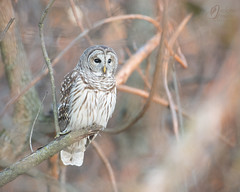 RSF3579 (jacksonfrontierphotography) Tags: barred owl sunset