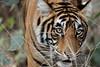 (kaypaji) Tags: wildlife ranthamborenationalpark travel ranthambore tiger india royalbengaltiger bengaltiger safari ranthamboretigerreserve rajasthan animal ranthambhorefort in