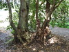 Two veterans (Ceratopetalum apetalum) on left (Poytr) Tags: sydneyrainforest ceratopetalumapetalum ceratopetalum cunoniaceae coachwood warmtemperatearf warmtemperatearfp warmtemperaterainforest narrabeen narrabeenlakes sydneyaustralia sydney synoum meliaceae scentlessrosewood synoumglandulosum arfp nswrfp qrfp forest wood tree oldtree veterantree