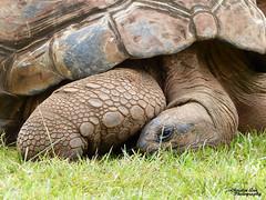 P1520102 (Christen Ann Photography) Tags: 2017 animals hawaii hawaii2017 honolulu honoluluzoo november2017 ohau tortoise usa zoo 840