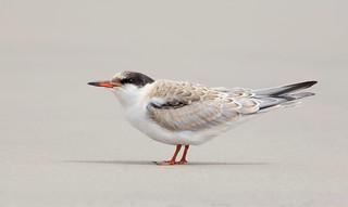 Common Tern juvi Nickerson beach ny.