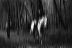 Motion. (Dikke Biggie.) Tags: 52in2017 4motion motion beweging moved bewogen horse horses paard paarden blackandwhite bw black white zwartwit zw zwart wit monochrome monochroom canon canoneos450d tamron 1750mm canonnl dgawc dof depthoffield scherptediepte bokeh line lines lijn lijnen horseriding paardrijden