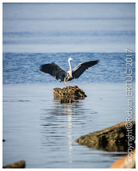 Grey heron  / Ardea cinerea (I'll catch up with you later, your comments and cr) Tags: pelitkoy greyheron nikkor200500mmf56eafsed nikond610fx wildlifephotography birdphotography rertug