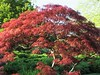 Zen (Cher12861 (Cheryl Kelly on ipernity)) Tags: frommay2017 spring chicagobotanicgarden redleaves tree japanesemaple