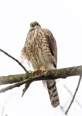 On Feeder Watch (tresed47) Tags: 2017 201712dec 20171205homehawk birds canon7d chestercounty content december fall folder hawk home pennsylvania peterscamera petersphotos places season sharpshinnedhawk takenby us