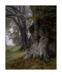 Autumn Beeches, Somerset