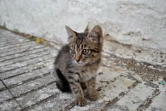 (Renato Di Raimondo) Tags: cat cats kitten kittens gatti gattino turchia istanbul