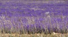 St-Jean-de Sault - Couleurs de Provence (caminanteK) Tags: espliego lavande saintjeandesault provence fz1000 lumix panasonic flou bokeh morado bleu mauvaisesherbes