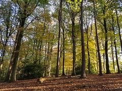 Beautiful day (katy1279) Tags: autumncolourschangingseasonyellowgreenbrownleaveswoodswoodland