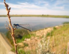 Pollinators_MD01.JPG (NRCS Montana) Tags: pestmanagement dragonfly insect bug baker mt odonatahexapoda commondarter lakeside nature wildlife habitat imp integratedpestmanagement