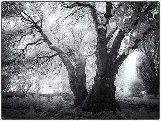 Tree Infra-red