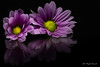 Reflection (Magda Banach) Tags: 80d canon blackbackground colors flora flower macro margerytka nature plants reflection