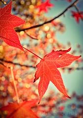 Autumn leaves... (vmribeiro.net) Tags: autumn leaves folhas outono red vermelho nature natureza nikon d7000