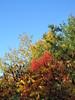 Autumn Colours (or Fall Colors) (jamica1) Tags: sumac trees fall autumn colours mission creek greenway park kelowna okanagan bc british columbia canada
