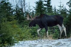 Julien traverse, suivi de près par sa femelle (www.sophiethibault.ca) Tags: orignal safari novembre nature forêtmontmorency canada québec animaux 2017 moose