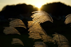 ススキ Japanese pampas grass (takapata) Tags: sony sel90m28g ilce7m2 macro flower nature plant