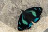 Perisama humboldtii  GUÉRIN-MÉNEVILLE, 1844 (PriscillaBurcher) Tags: perisama perisamahumboldtii nymphalidae brushfootedbutterfly mariposasdecolombia butterfliesfromcolombia laceja colombia priscillaburcher l1510472 coth5