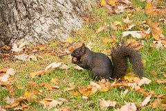 Snacking Squirrel (A Great Capture) Tags: agreatcapture agc wwwagreatcapturecom adjm ash2276 ashleylduffus ald mobilejay jamesmitchell toronto on ontario canada canadian photographer northamerica torontoexplore fall autumn automne herbst autunno 2017 rebel t5i eos digital dslr lens canon natur nature naturaleza natura naturephotography naturethroughthelens outdoor outdoors leaves leaf foliage autumnleaves park parc squirrel
