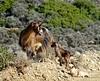 Communication. (Ia Löfquist) Tags: crete kreta hike hiking walk walking vandra vandring goat get killing kid babygoat fs171112 kommunikation fotosondag fotosöndag