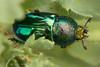 Christmas beetle ( anoplognathus ) (Malcom Lang) Tags: beetle green eyes anoplognathus rutelinae anthropoda scarabaeidae christmas iridescence insect insecta animal macro macrodreams canon leaves