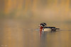 Wood duck shake (Khurram Khan...) Tags: woodducks wildlife wildlifephotography wild wwwkhurramkhanphotocom winter ilovewildlife ilovenature iamnikon waterfowl khurramkhan nikkor nikon water pond birdphotography birds