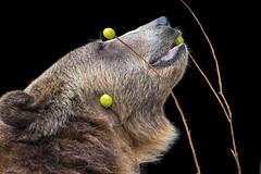 Bear with Grapes (helenehoffman) Tags: omnivore brownbear scout wildlife ursusarctoshorribilis nature ursus sandiegozoo carnivore conservationstatusleastconcern ursusarctos mammal grizzlybear animal bear specanimal specanimalphotooftheday