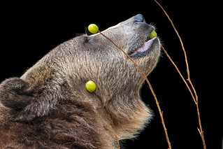 Bear with Grapes