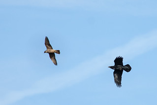 Raven seeing off a Peregrine
