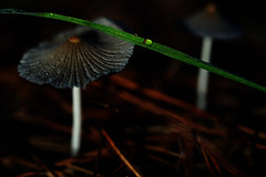 at night (Mushrooms, Macro) (Jocarlo) Tags: macro macros macrophotographers macrofotografia macrofotografía macrofotografie macrography macrophotography macrophotografer photomacrography nationalgeographic nature natura natur naturaleza sonya7 sony a7 ilce fe90mm flickrclickx flickraward flickrstruereflection1 flickrphotowalk art afotando adilmehmood arttate blinkagain bosque crazygeniuses crazygenius clickofart editing genius hongos hongo photowalk photowalkmelilla sharingart photograpfy jocarlo makro makros luz light melilla ngc nocturnas night otoño pwmelilla parques soulocreativity1 mycology micologia pilze creativeartphotografy creativephotografy creative creativa pilce colores color colours fotografía fotos photography fungi fungus funghi