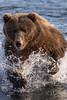 SALMON! (wyrickodiak_9) Tags: kodiak alaska brown bear grizzly sow cubs fishing river island mammal wildlife apex predator