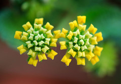 These are not sweet or bitter candies! (Pensive glance) Tags: lantana lantanacamara flower fleur bud plant plante