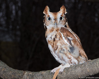 Red Phase Screech Owl - Somewhat Artificial Light