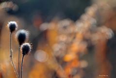 Éblouis / Amazed (deplour) Tags: végétation vegetation bokeh flou blur éblouis amazed inexplore explorer explored