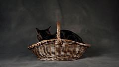 'Cat Basket' (Jonathan Casey) Tags: basket wicker cat studio jonathancaseyphotography jonathan casey nikon d810 sigma 50mm f14 art