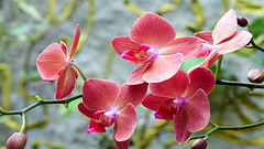 Orchids (asithmohan29) Tags: httpbitly2aiymrm httpdailyx695ag3 orchidaceae angiosperm anther asparagalesfamilies biology blooms cannabis coevolve colourful competition evolution female filament flower floweringplants flowers flowerso flyinginsect forestfire fragrant gymnosperm male marijuanaplant mutualism orchidfamily orchidspecies orchids perfectflower petal sepal serotinous stamen vascularplants