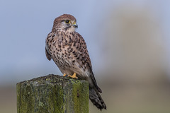 R17_8218 (ronald groenendijk) Tags: cronaldgroenendijk 2017 falcotinnunculus rgflickrrg animal bird birds birdsofprey groenendijk holland kestrel nature natuur natuurfotografie netherlands outdoor ronaldgroenendijk roofvogels torenvalk vogel vogels wildlife