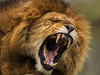 'In for 'The Kill' (ralphashton) Tags: teeth jaws beast mouth roar fur tongue maine lion lionlove themoment nature