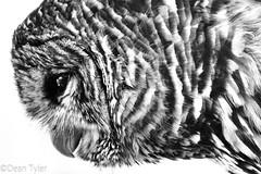 Barred Owl (Dean OM) Tags: bird owl barred gh3 100300 m43 microfourthirds bw