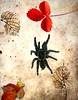 another spider visits me (CatnessGrace) Tags: spiders black blackspiders tarantulas texture art photoshop artistic nature africa africannature southafrica south africanspiders