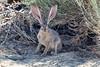 Jackrabbit (deepskywim) Tags: jackrabbit zoogdieren dieren konijnen california unitedstates us