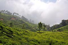 India - Kerala - Munnar - Tea Plantagen - 207 (asienman) Tags: india kerala munnar teaplantagen asienmanphotography
