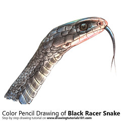Black Racer Snake with Color Pencils [Time Lapse] (drawingtutorials101.com) Tags: black racer snake coluber constrictor snakes southern animals reptiles sketch sketches sketching draw drawing drawings color colors coloring how timelapse video time lapse timelaspe