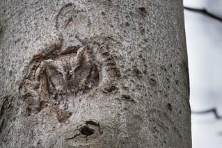 Chroniques d'Angrignon | Amandine au trou no 6 | Petit-duc maculé femelle de forme grise | Parc Angrignon | Arrondissement Sud-Ouest | Montréal