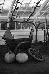 FILM - Broken barrow (fishyfish_arcade) Tags: adoxsilvermax100 analogphotography bw blackwhite blackandwhite filmphotography filmisnotdead istillshootfilm monochrome olympusom1 zuiko50mmf18 analogcamera film mono wheelbarrow pumpkin autumn fall clumberpark greenhouse