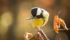Great tit (Lt_Dan) Tags: canon600d canon55250mmf456isii nature natureshot bird greattit alpago belluno veneto italia italy bokeh 7dwf