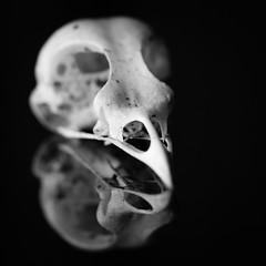 bird skull, made of bone (tersha53) Tags: skull bone rhymeswithstone macromonday